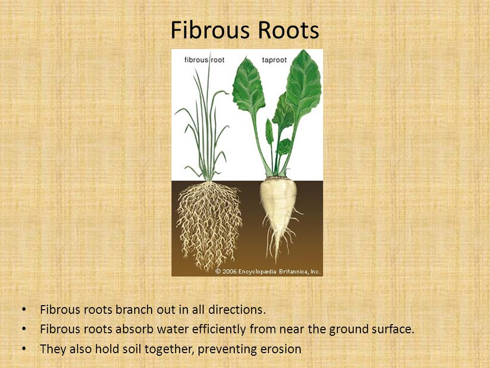 Fibrous Roots Fibrous roots branch out in all directions.