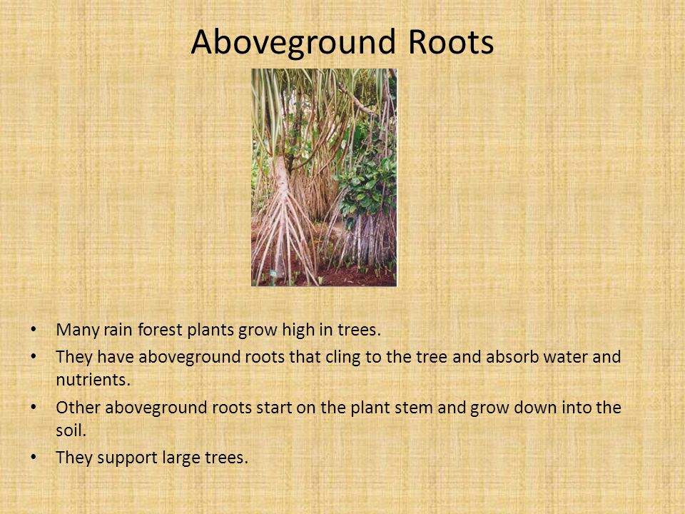 Aboveground Roots Many rain forest plants grow high in trees.
