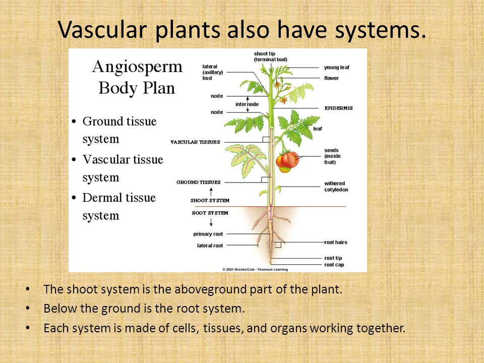 Vascular plants also have systems.