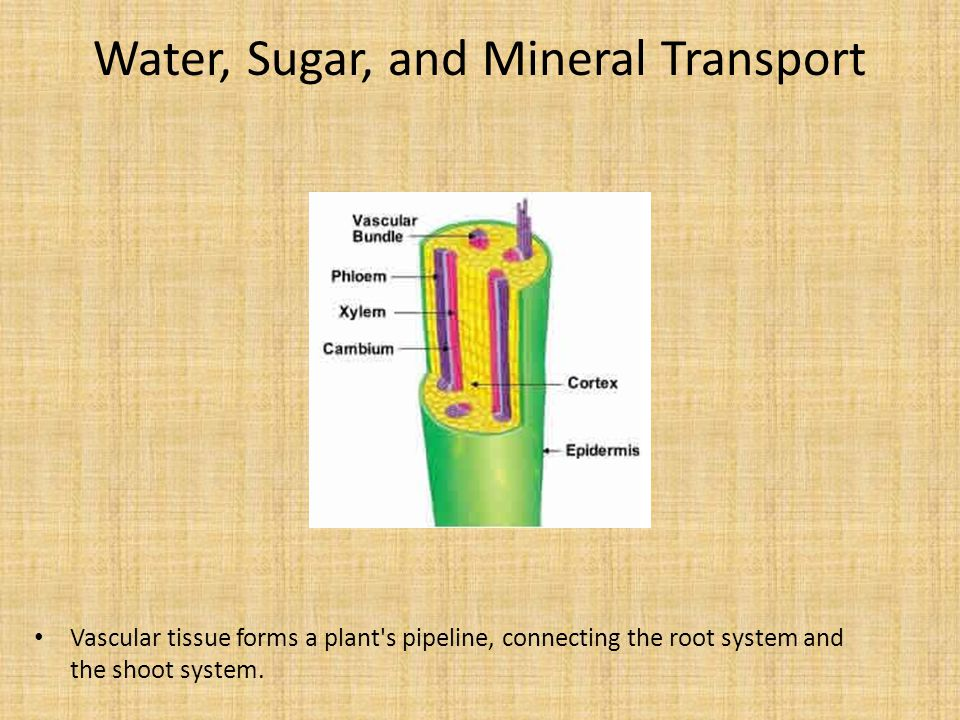 Water, Sugar, and Mineral Transport