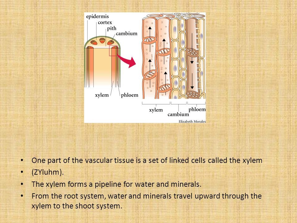 One part of the vascular tissue is a set of linked cells called the xylem