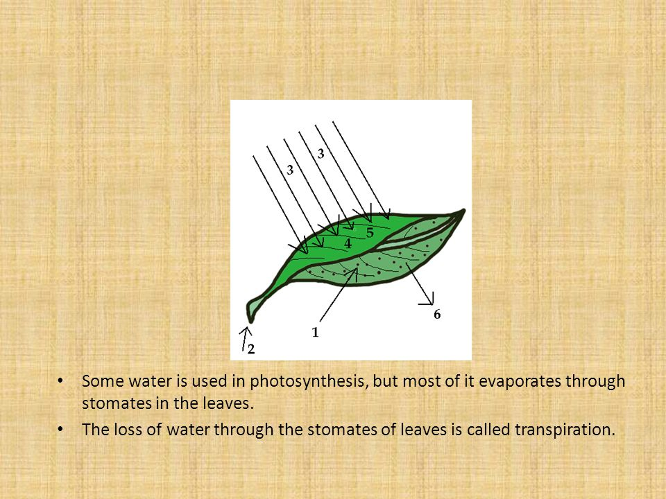 Some water is used in photosynthesis, but most of it evaporates through stomates in the leaves.