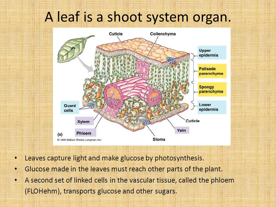 A leaf is a shoot system organ.