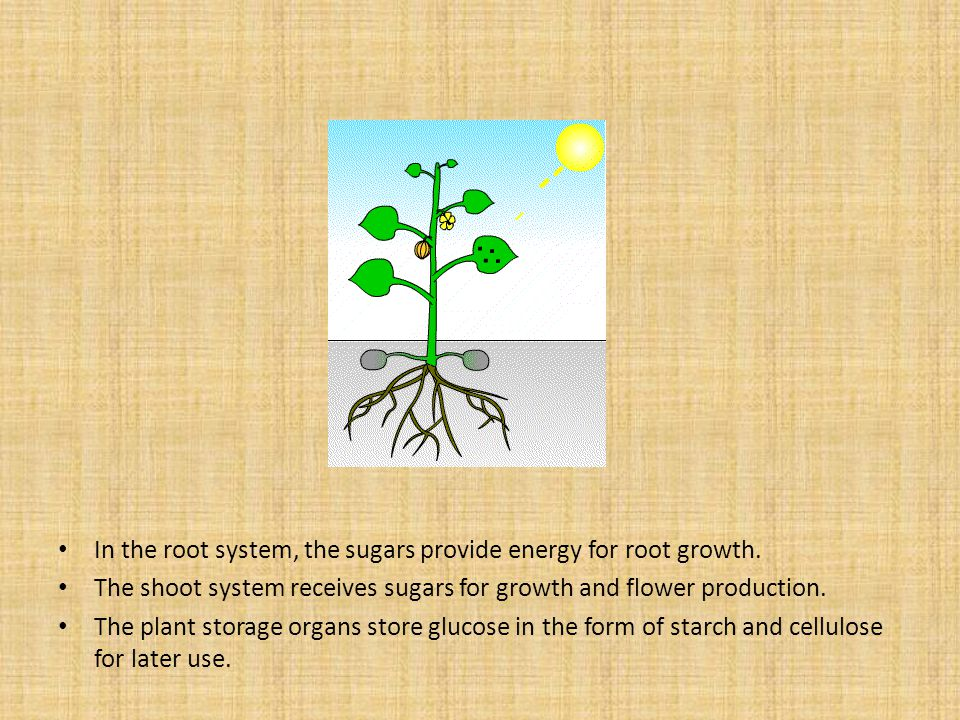 In the root system, the sugars provide energy for root growth.