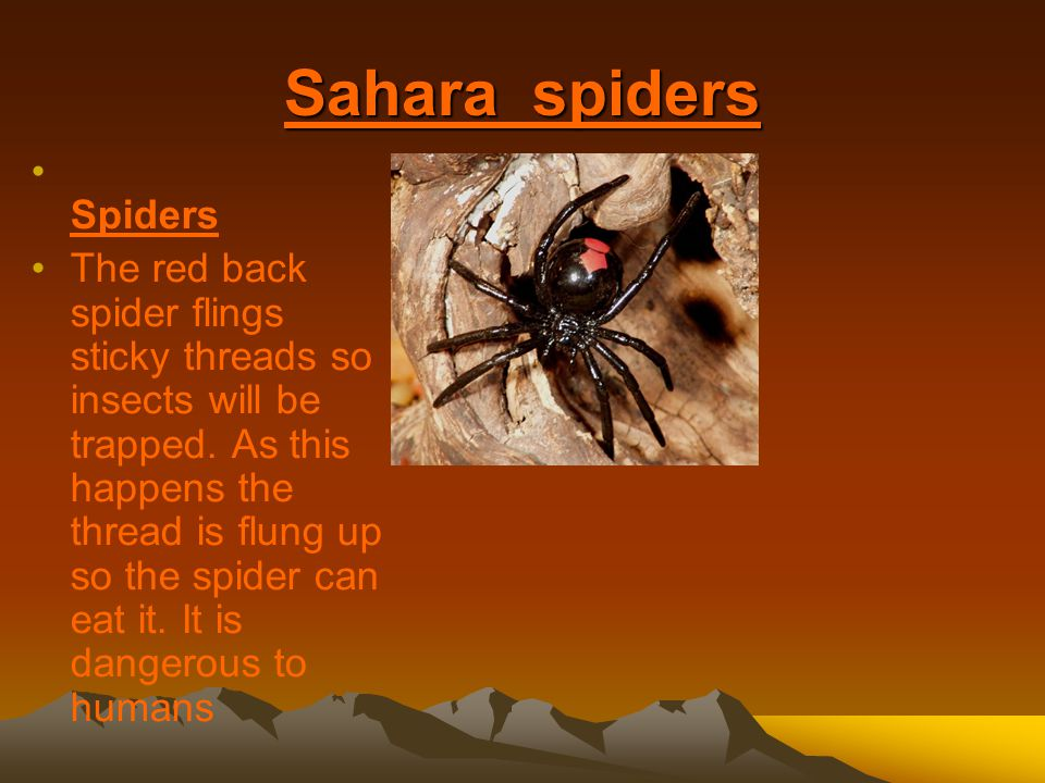 Sahara spiders Spiders