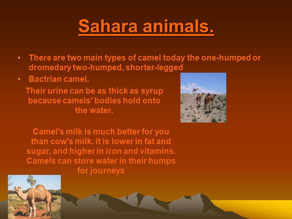 Camels can store water in their humps for journeys