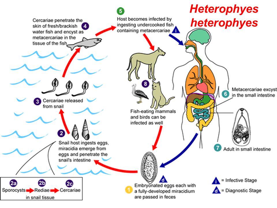 Heterophyes heterophyes
