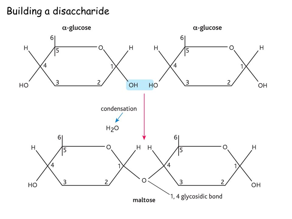 Building a disaccharide