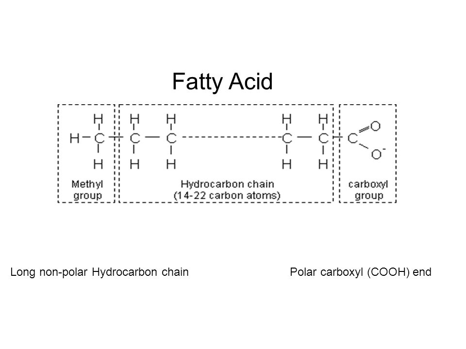 Fatty Acid Long non-polar Hydrocarbon chain Polar carboxyl (COOH) end