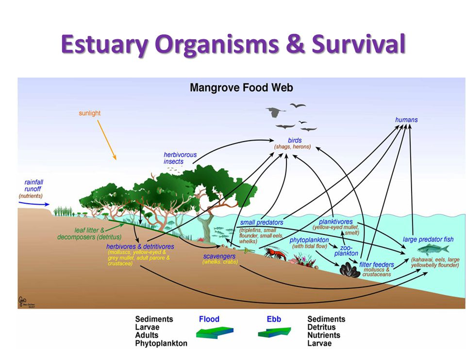 Estuary Organisms & Survival