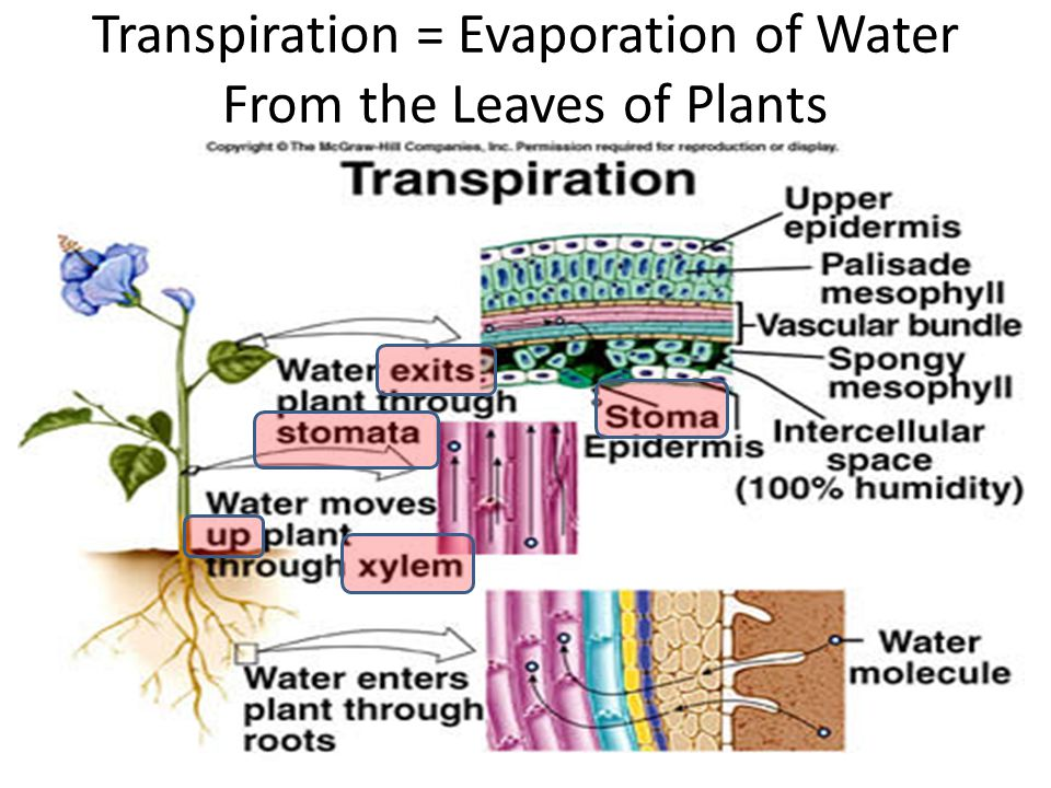 Transpiration = Evaporation of Water From the Leaves of Plants