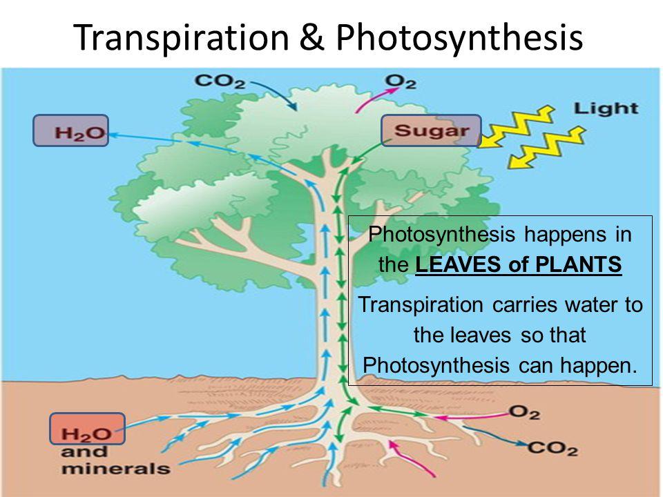 Transpiration & Photosynthesis