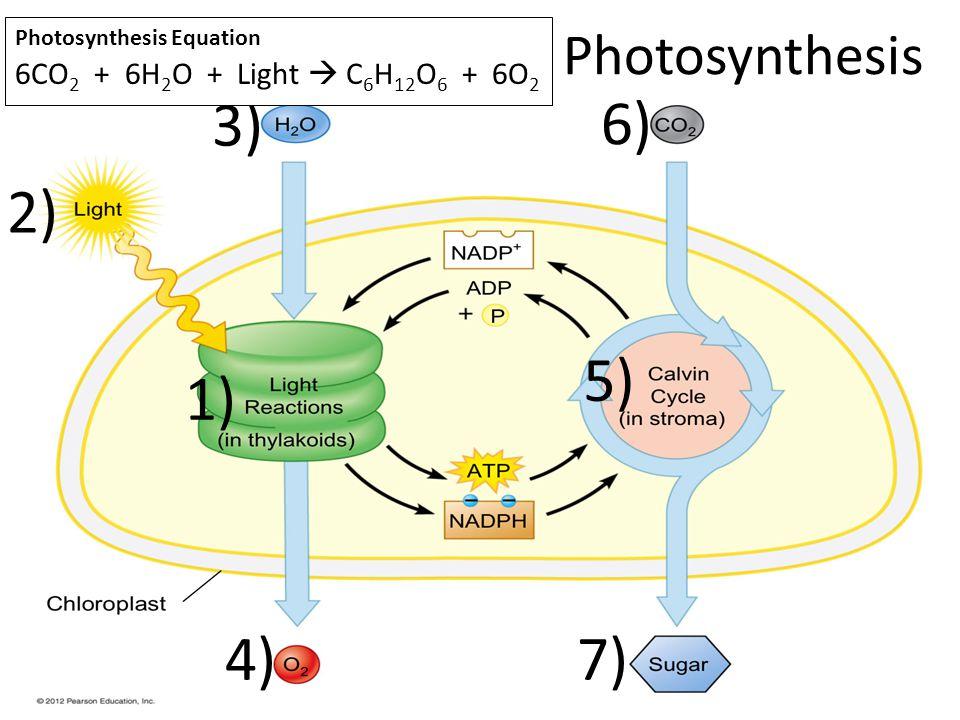 3) 6) 2) 5) 1) 4) 7) Photosynthesis