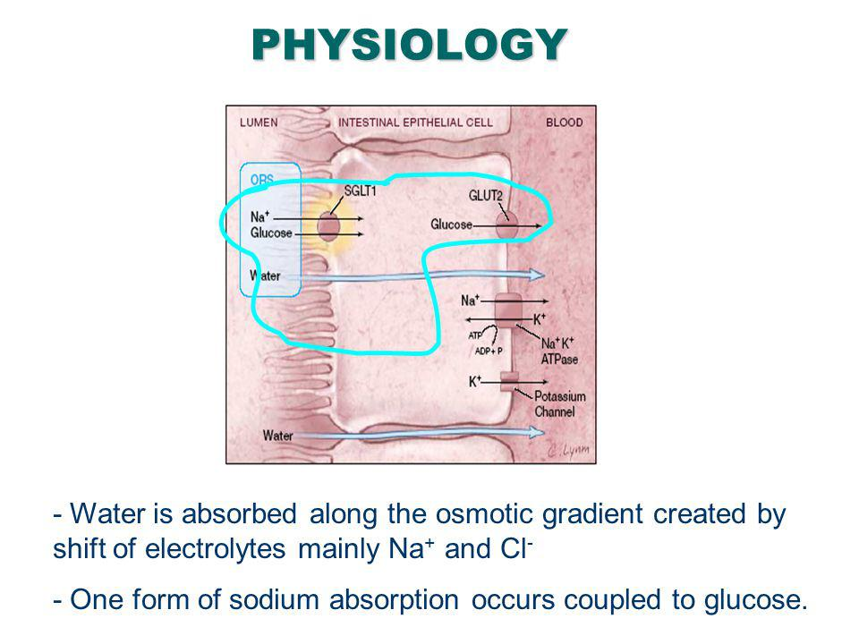 PHYSIOLOGY Water is transported paracellularly as a result of the osmotic gradient.