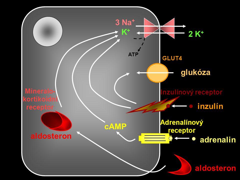 Mineralo- kortikoidní receptor Adrenalínový receptor