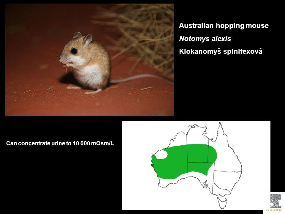 Australian hopping mouse Notomys alexis Klokanomyš spinifexová
