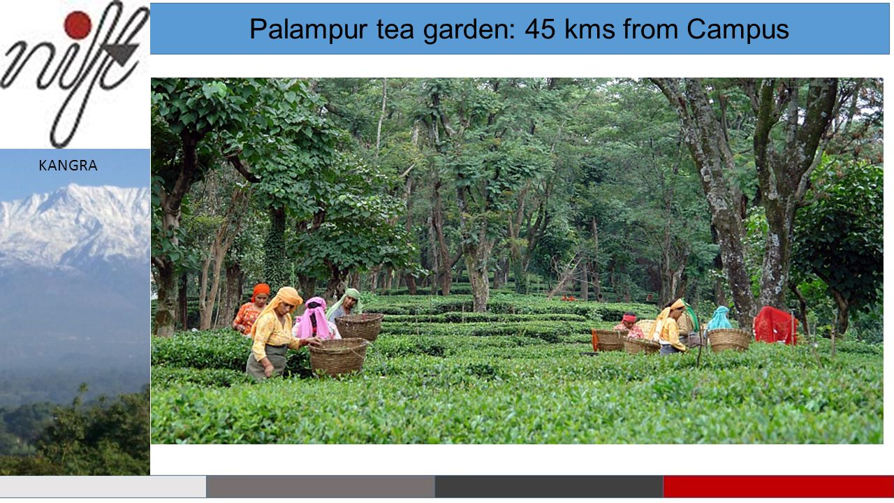 Palampur tea garden: 45 kms from Campus