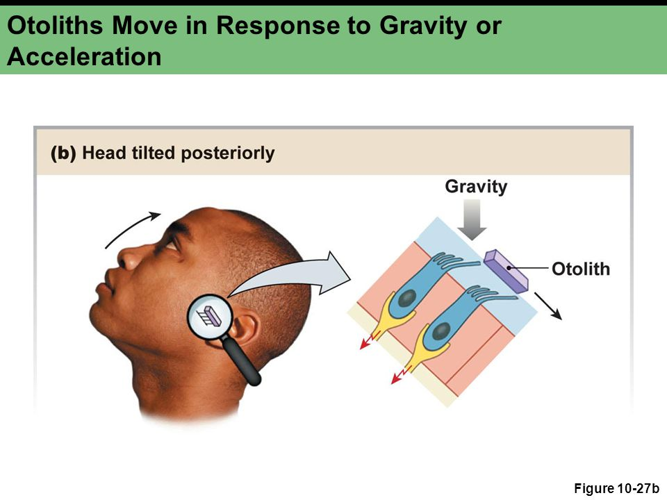 Otoliths Move in Response to Gravity or Acceleration