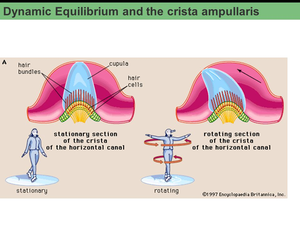 Dynamic Equilibrium and the crista ampullaris