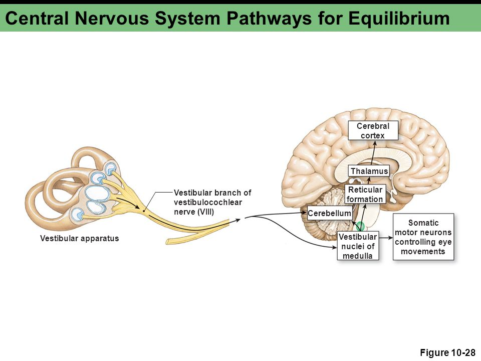 Central Nervous System Pathways for Equilibrium