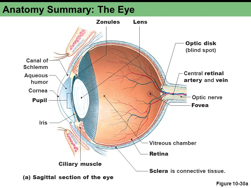 Anatomy Summary: The Eye