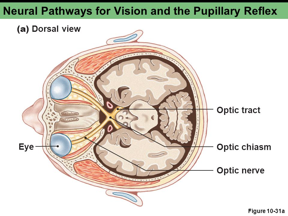 Neural Pathways for Vision and the Pupillary Reflex