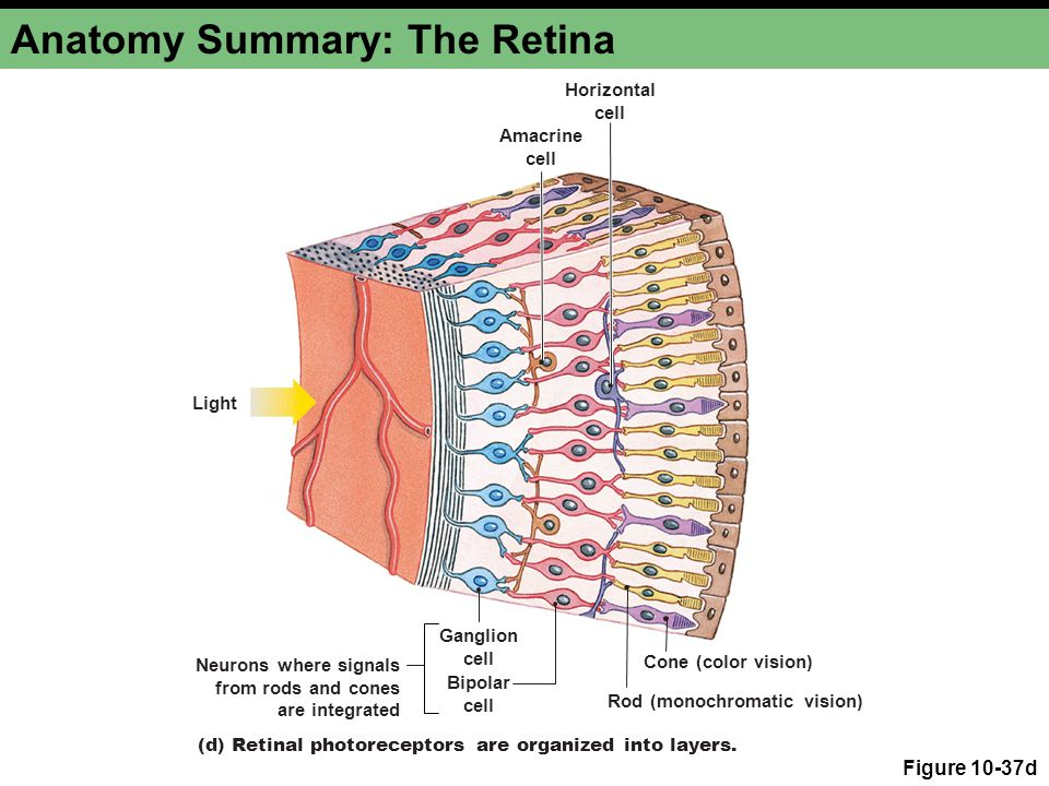 Anatomy Summary: The Retina