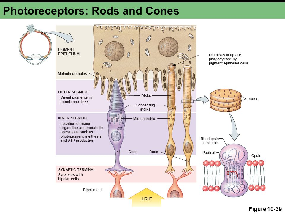 Photoreceptors: Rods and Cones