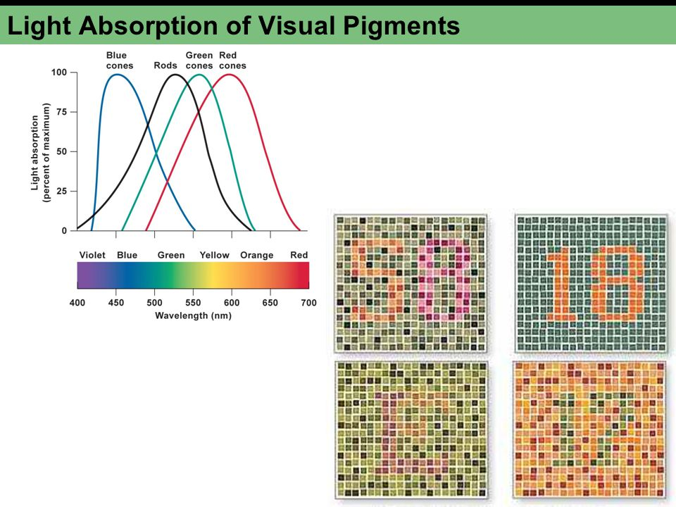 Light Absorption of Visual Pigments
