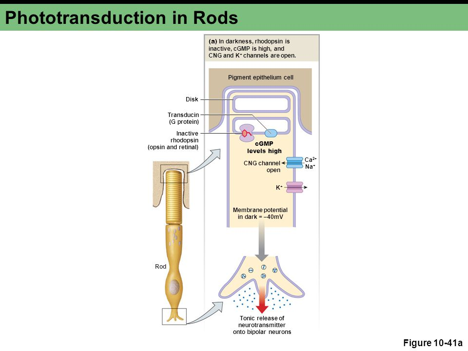 Phototransduction in Rods