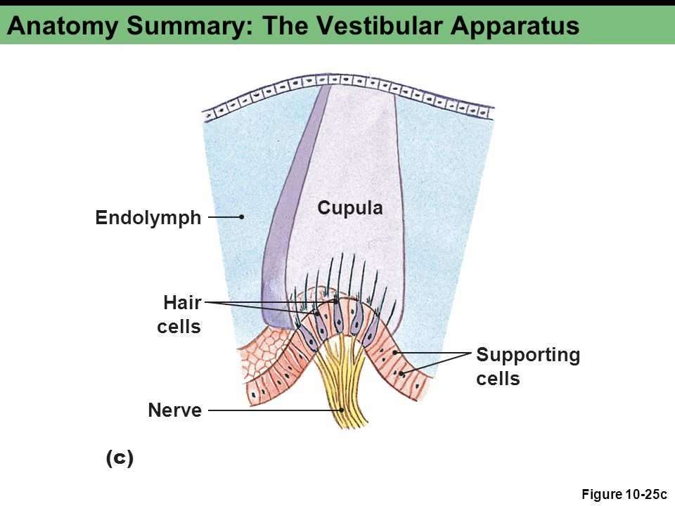 Anatomy Summary: The Vestibular Apparatus