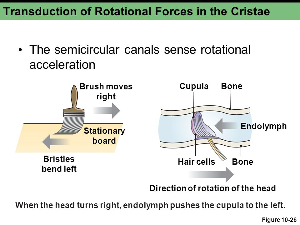 Transduction of Rotational Forces in the Cristae