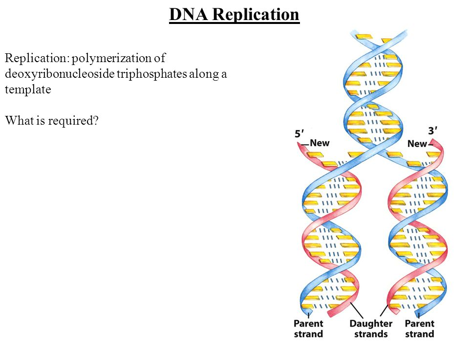 DNA Replication Replication: polymerization of deoxyribonucleoside triphosphates along a template.