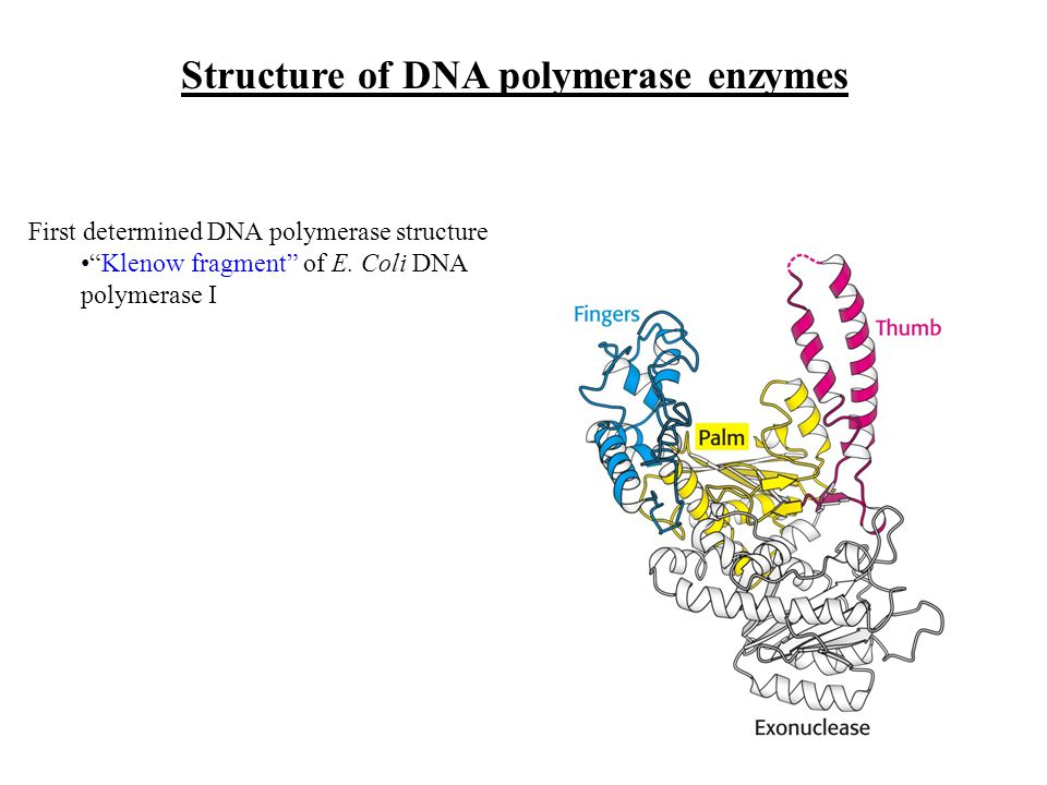 Structure of DNA polymerase enzymes