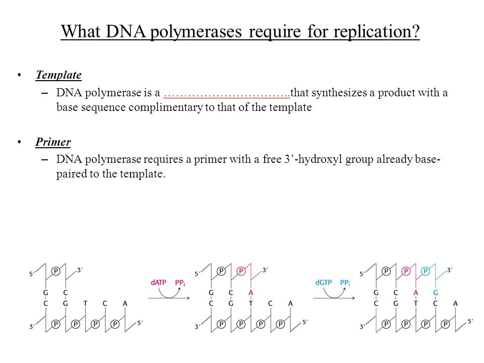What DNA polymerases require for replication
