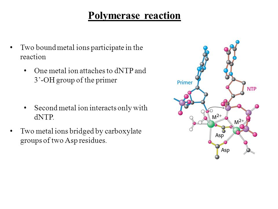 Polymerase reaction Two bound metal ions participate in the reaction