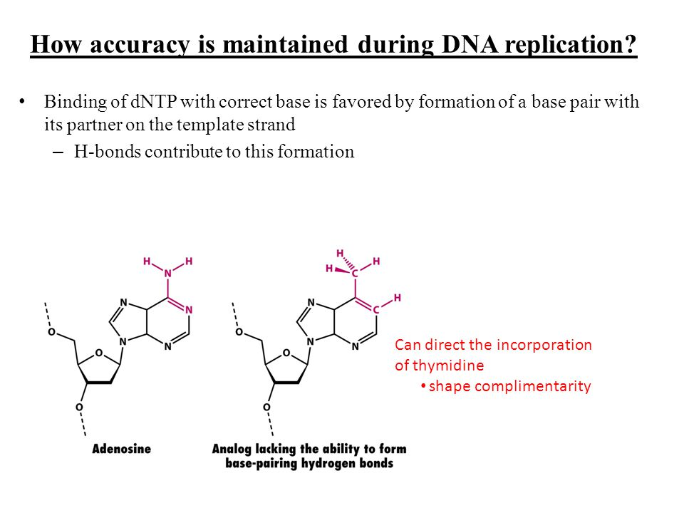 How accuracy is maintained during DNA replication