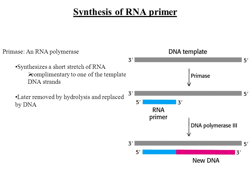 Synthesis of RNA primer