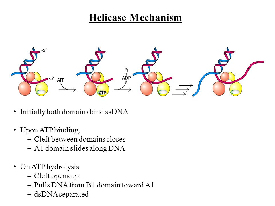 Helicase Mechanism Initially both domains bind ssDNA Upon ATP binding,