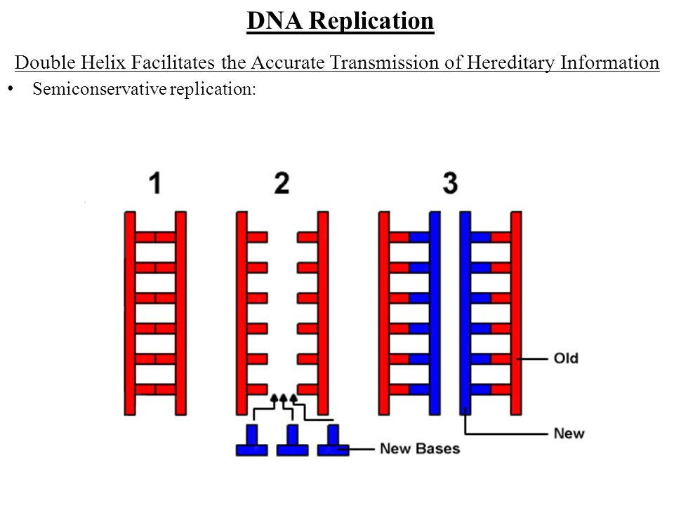 DNA Replication Double Helix Facilitates the Accurate Transmission of Hereditary Information.