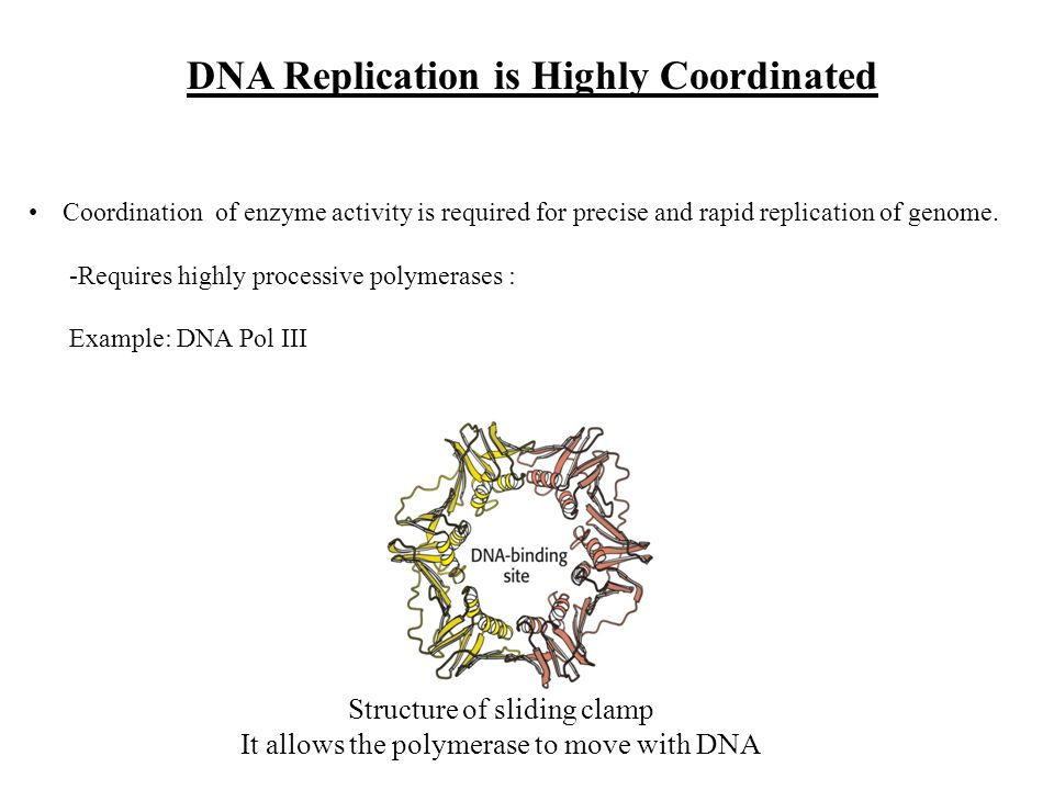 DNA Replication is Highly Coordinated