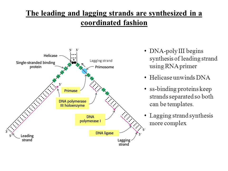 The leading and lagging strands are synthesized in a coordinated fashion
