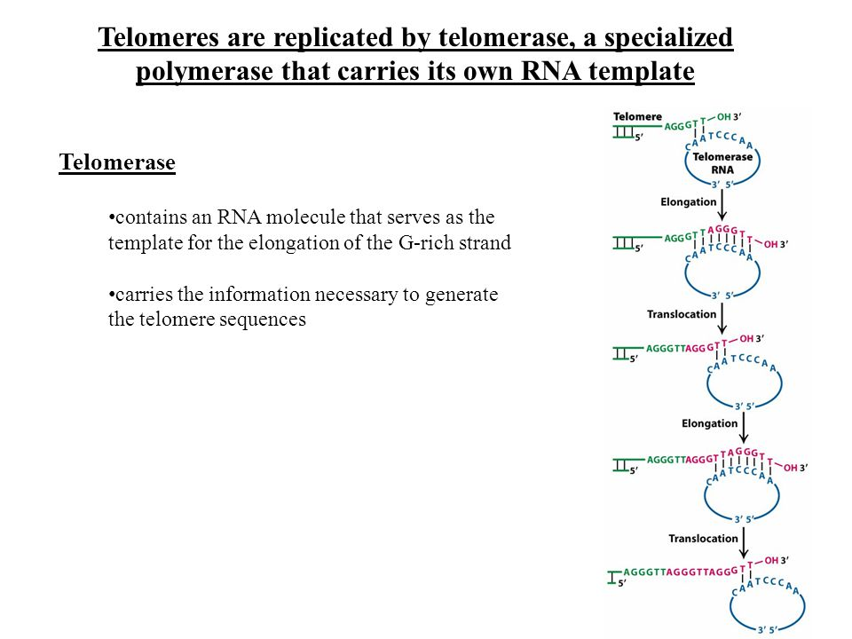 Telomeres are replicated by telomerase, a specialized polymerase that carries its own RNA template