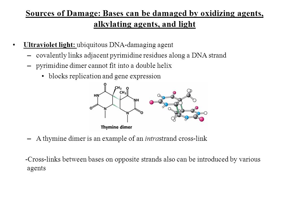 Sources of Damage: Bases can be damaged by oxidizing agents, alkylating agents, and light