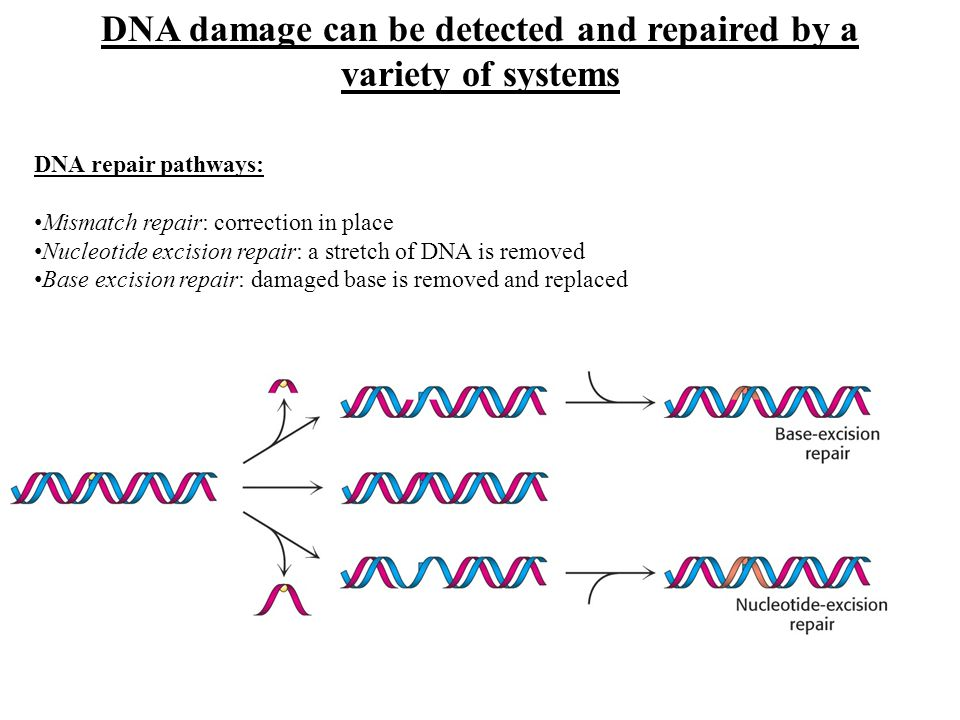 DNA damage can be detected and repaired by a variety of systems