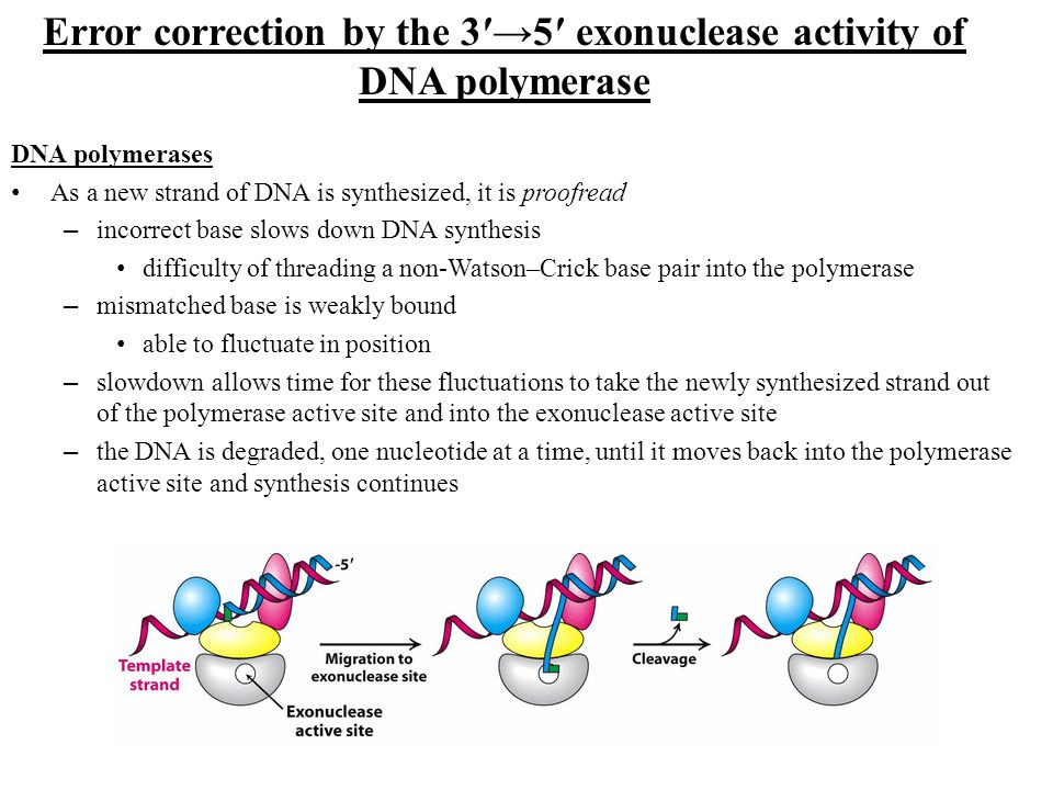 Error correction by the 3′→5′ exonuclease activity of DNA polymerase