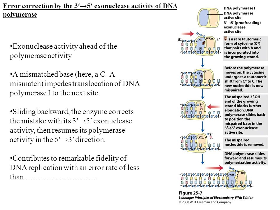 Exonuclease activity ahead of the polymerase activity