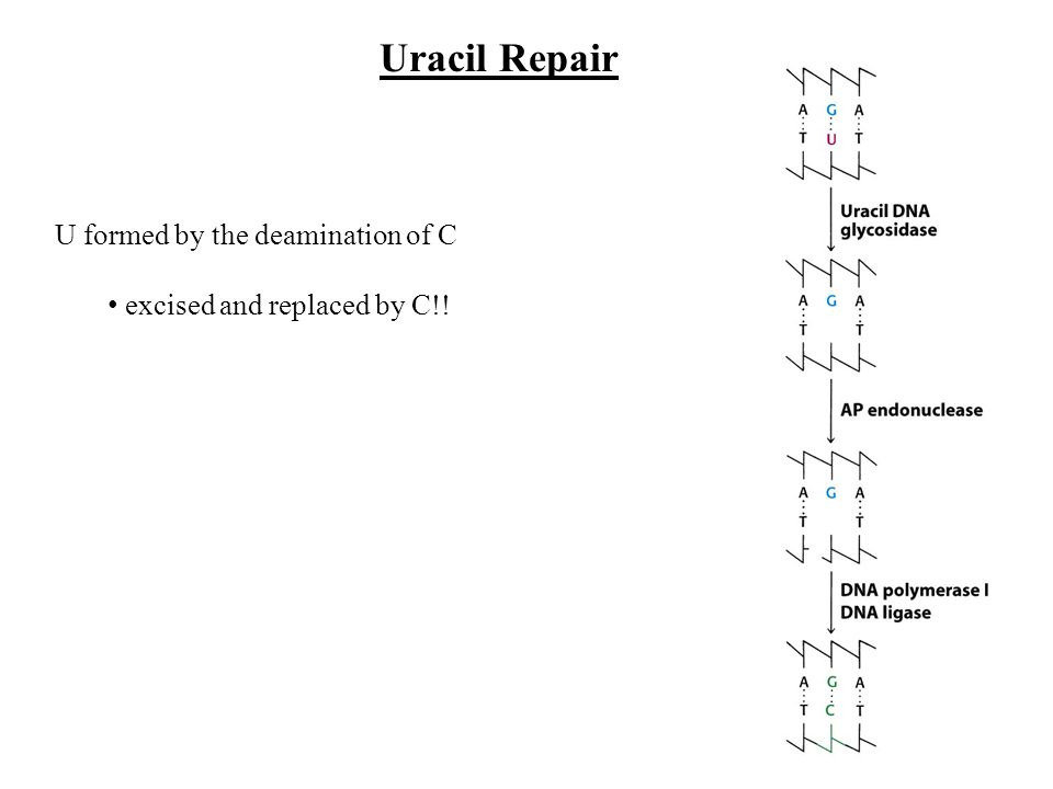 Uracil Repair U formed by the deamination of C