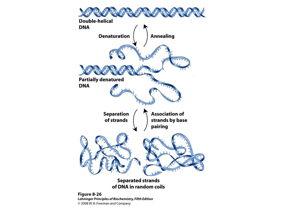 FIGURE 8-26 Reversible denaturation and annealing (renaturation) of DNA.
