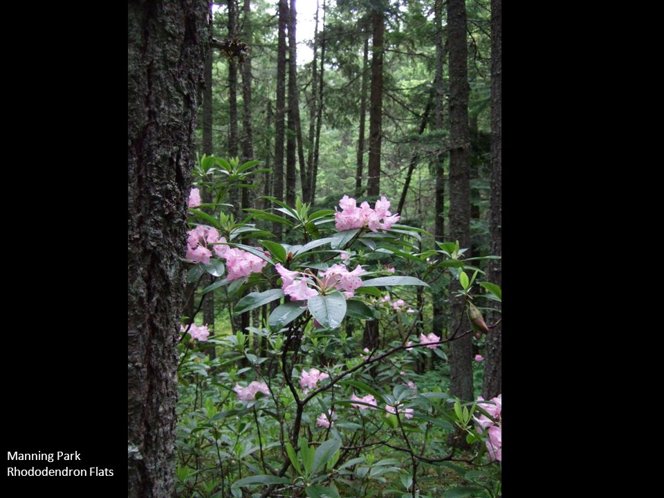 Manning Park Rhododendron Flats